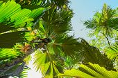 A view from below upwards on the  Coco de Mer palm trees. The Vallee De Mai palm forest, Praslin isl poster