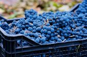 Blue Grapes, Background Of Freshly Picked Grapes.., Wine Grapes. Dark Wine Grapes Background, Dark G poster