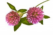 image of red clover  - Two Clover flower close up on white background - JPG