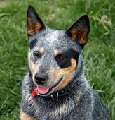 stock photo of heeler  - Australian Cattle Dog with Black Eye Patch - JPG
