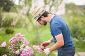 Gardener Wearing Gloves And Straw Hat Pruning Rose Flowers poster