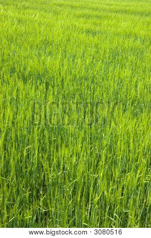Lush Green Field