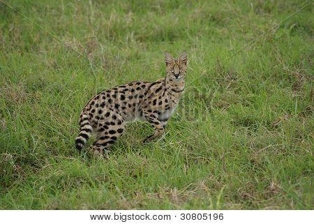 Eye-catching serval