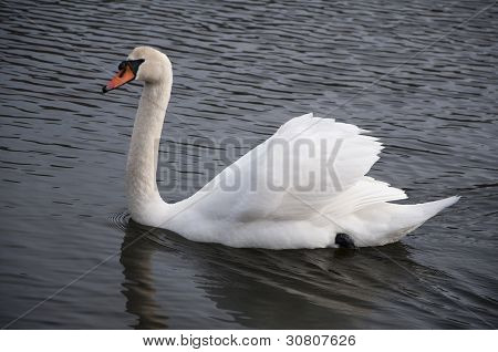 Swan 3924