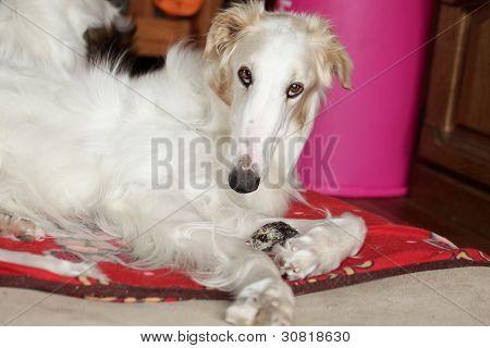 Greyhound, Russian Borzoi Resting