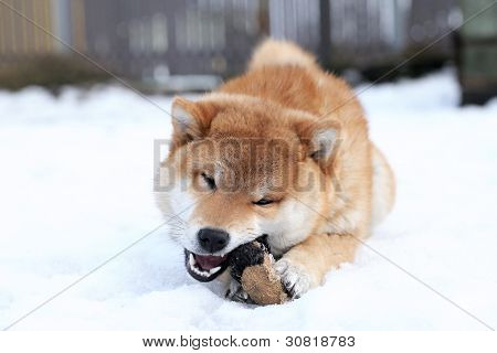 Shiba Inu Dog Playing With A Toy