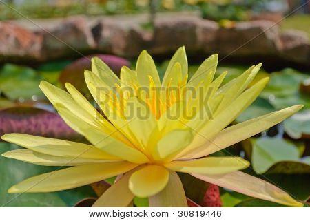 Yellow Blooming Lotus Flower