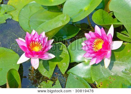 Two Pink Blooming Lotus Flower
