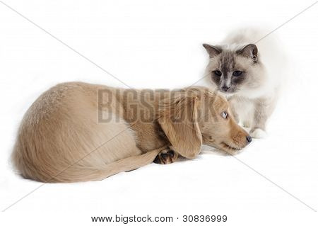 A cat looks at a cowering puppy