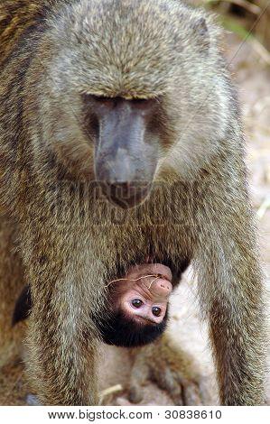 Baby Pavian unter seiner Mutter