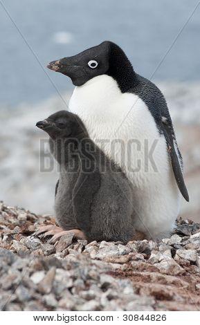 Family Adelie Penguins.