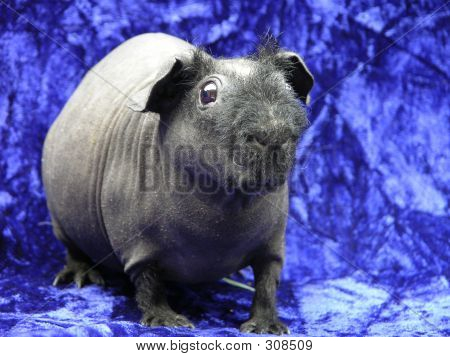 Black Skinny Pig
