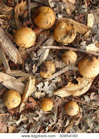 Oak galls,oak leaves and twigs up close