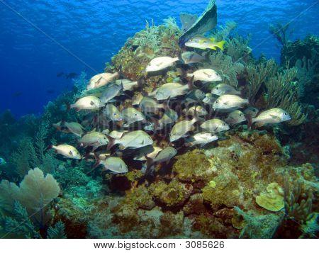 Cayman Brac Reef Scene With School Of French Grunts