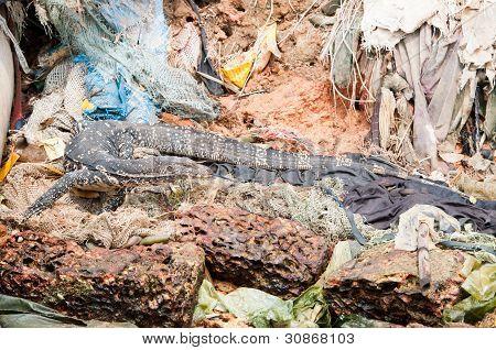 Wild varanus between garbage