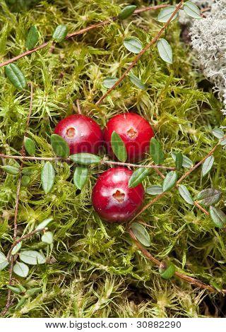 Arándanos silvestres crecen en pantano, cosecha de otoño