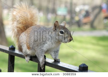 Squirrel In Central Park, New York