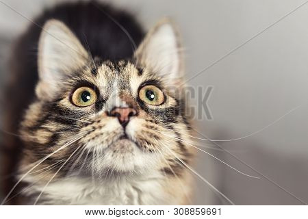 poster of Wow Emotion Concept Portrait Of A Beautiful Siberian Cat, Wich Looks Up Closely. Cat Is Looking Forw