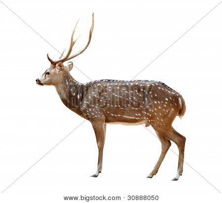 Male Axis Deer Isolated
