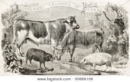 Vesoul breeding contest winners, old illustration, France. Created by Rouyer, published on L'Illustration, Journal Universel, Paris, 1863