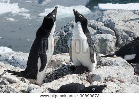 Two Adelie Penguin Near The Nest.
