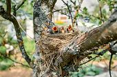Nest Of Thrush With Hungry Chicks. Five Baby Birds With An Orange Beaks. Nestling Song Thrush poster