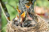 Nestling Song Thrush. Closeup Baby Birds With Wide-open Mouths Await Feeding. Four Hungry Chicks Wit poster