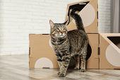 Cute Tabby Cat Near Cardboard House In Room. Friendly Pet poster