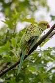 Rose-ringed Parakeet, Psittacula Krameri, Also Known As Ring-necked Parakeet, The Beautiful Green An poster