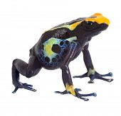 poison dart frog isolated dendrobates tinctorius poisonous animal of amazon rainforest kept as pet i