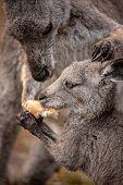 Mother Kangaroo Sharing Food With Her Joey.  Animal Behaviour, Caring, Sharing, Loving, Focus To Sid poster