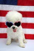 American Flag. White Dog. 4th of July celebration with a small white dog. Forth of July Celebration  poster