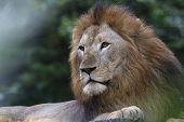 King Of The Jungle, Asiatic Lion, Panthera Leo Leo, Singapore Zoo, Singapore poster