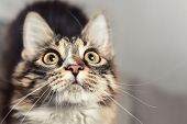 Wow Emotion Concept Portrait Of A Beautiful Siberian Cat, Wich Looks Up Closely. Cat Is Looking Forw poster
