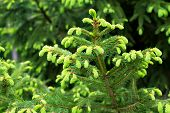 Fir Bluish Spruce Canadian, Christmas Spruce White - Evergreen Tree Plant, Species Of The Pinaceae F poster