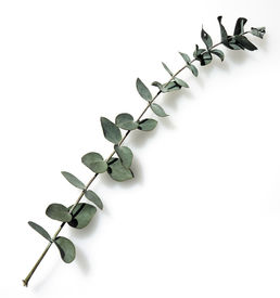 picture of eucalyptus leaves  - a branch of eucalyptus herbs from australia - JPG