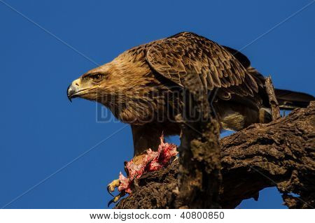 Eagle and Prey