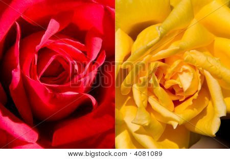 Two Colors Roses