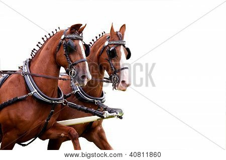 Couple Of Harnessed Horses