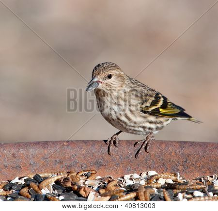 Pine Siskin peeling a sunflower seed at feeding station in winter