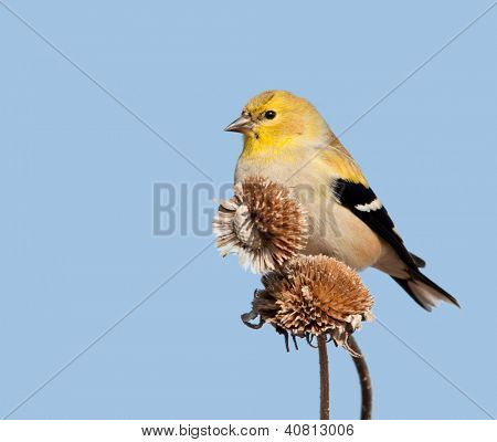 Male American Goldfinch in winter plumage, perched on top of dry wild sunflower seedpods