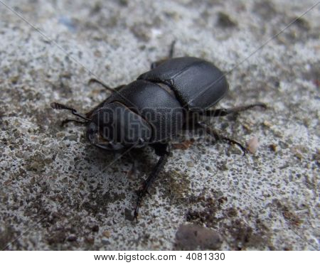 Lesser Stag Beetle (Male)