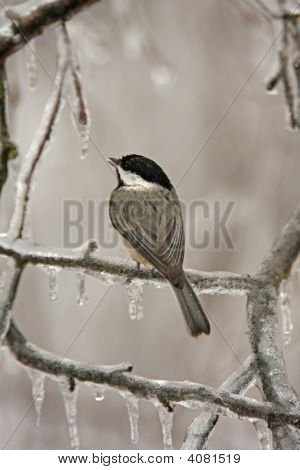 Black Capped Chickadee On An Icy Branch