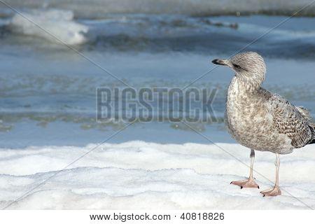 Suspicious Seagull