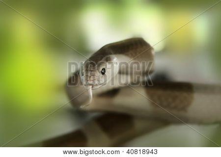 Cobra Snake (elapidae)