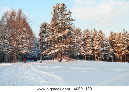 Snowcovered Pines In Evergreen Forest With Sunset Colors On Trees