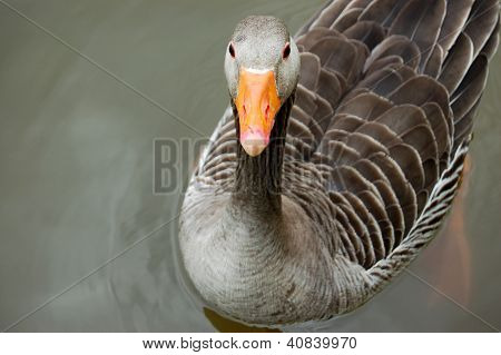Greylag Goose Floating Calmly On Still Waters