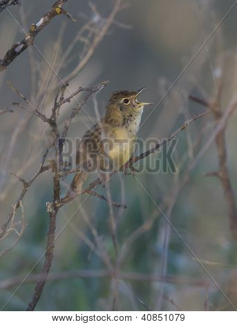 Common Grasshopper Warbler Male Singing In The Bush.