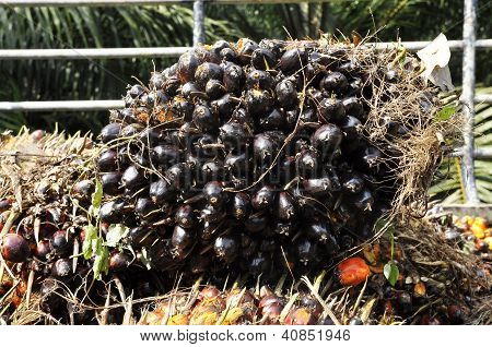 Palm Cluster Seed Fruit Plat