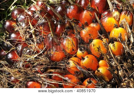 Palm Seed Cluster Fruit Plat